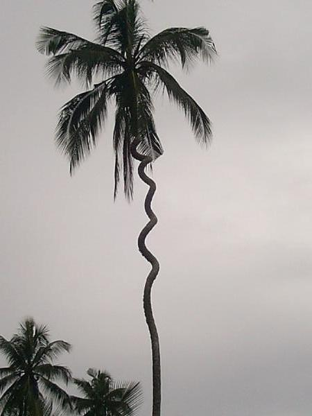 451427-Cork-Screw-Palm-Tree-1